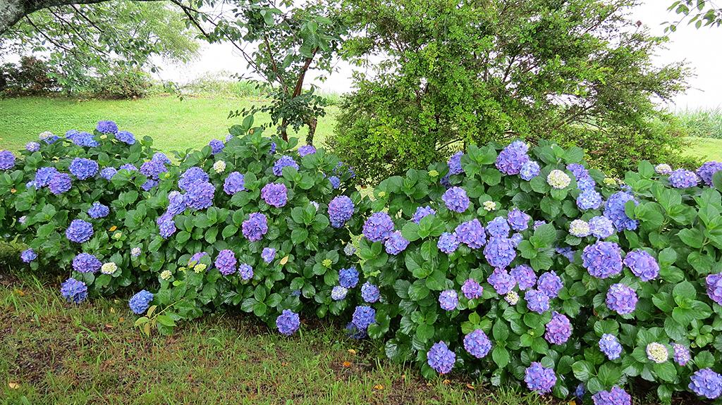 杉安峡の紫陽花(平成30年)