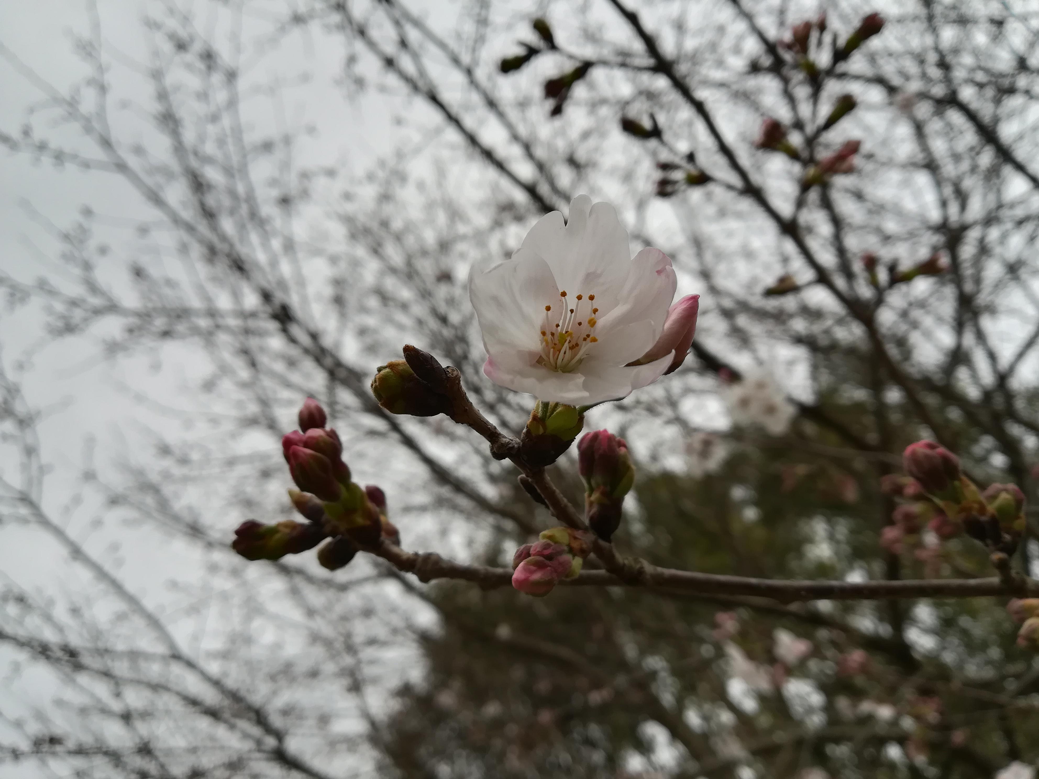 台風24号通過後に咲いた桜(2018年)