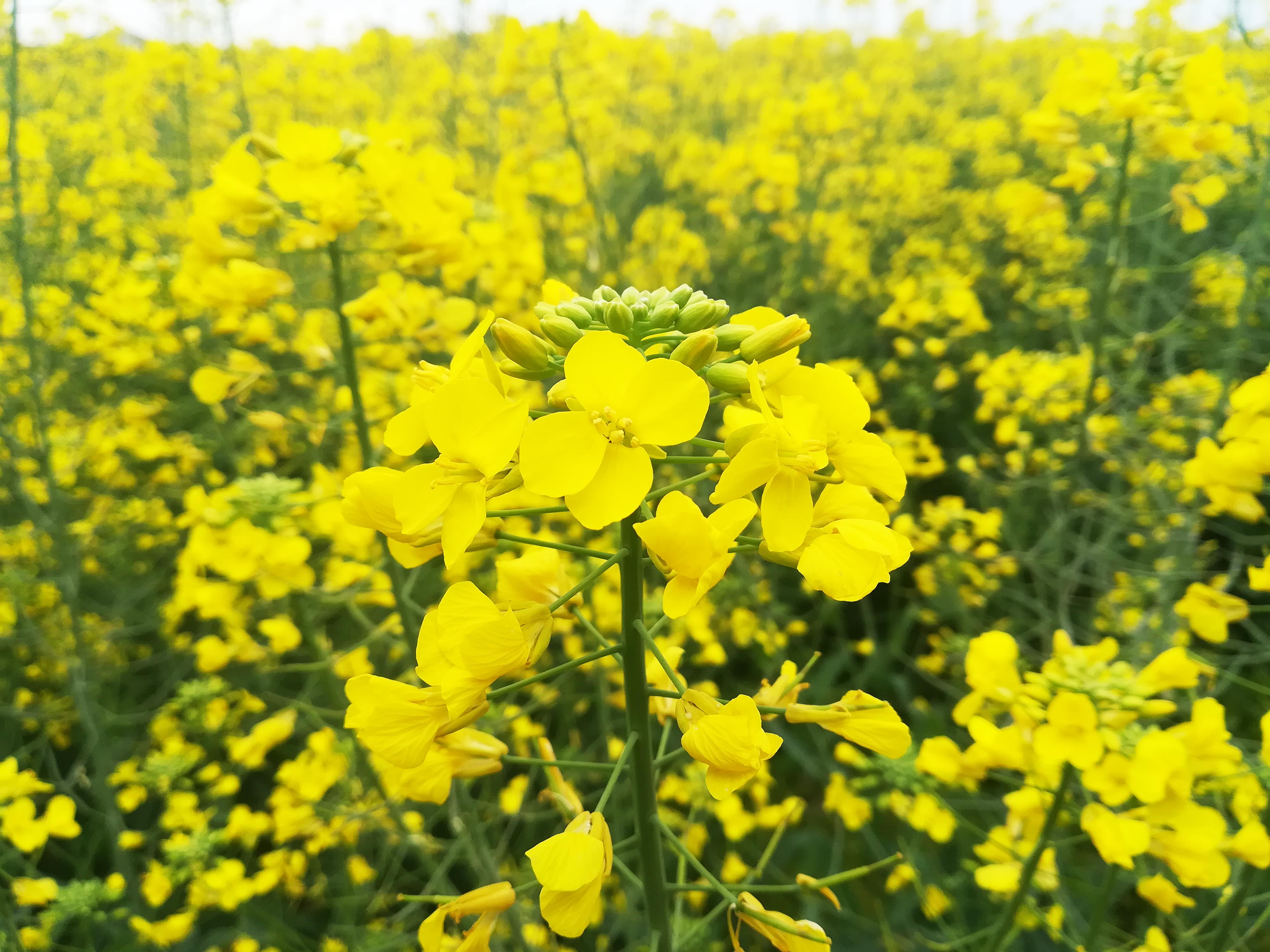 西都原の菜の花