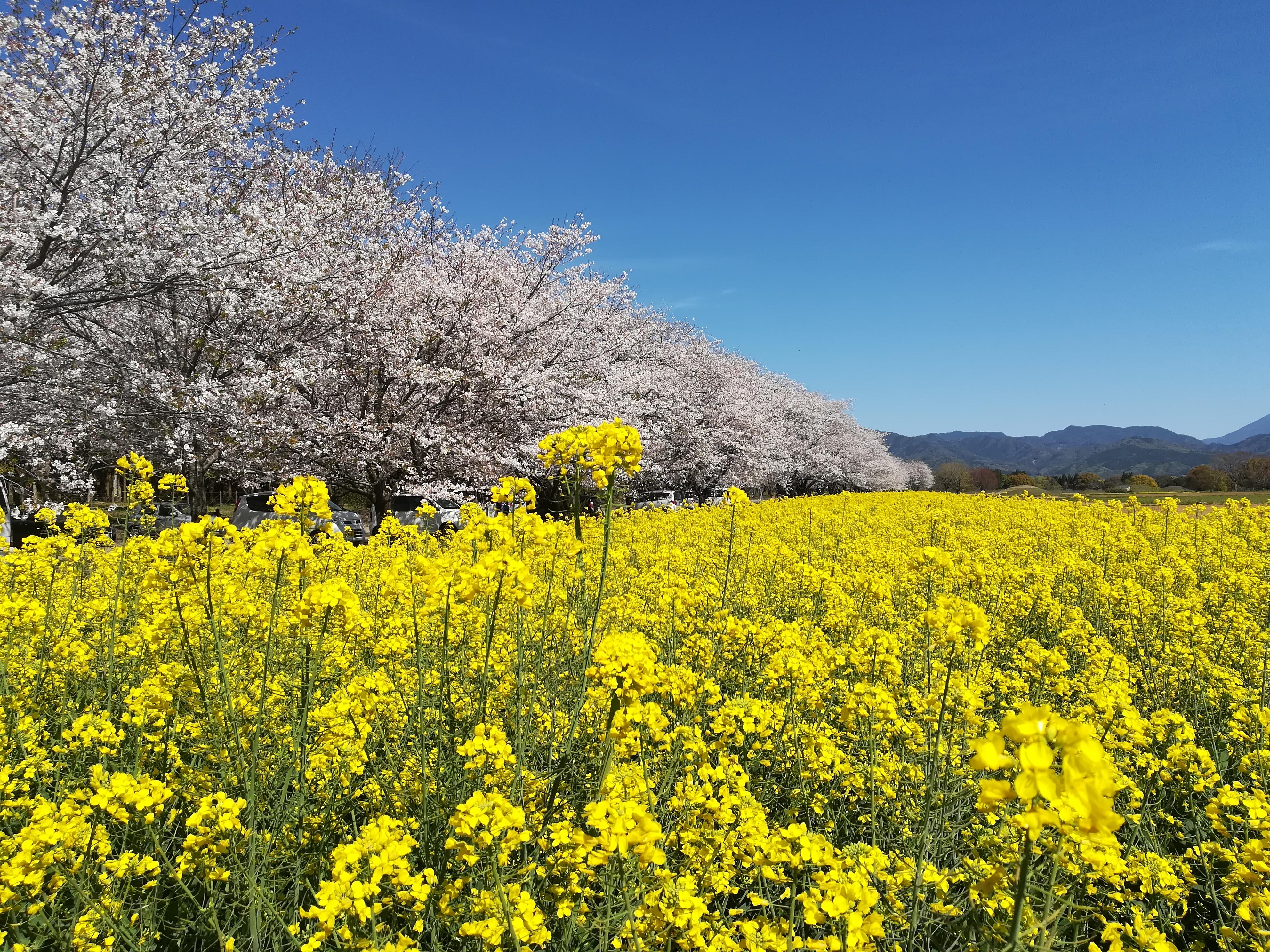 春の西都原