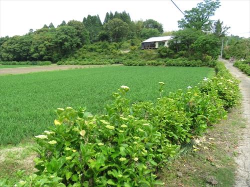 田園風景の中500本のアジサイが咲く