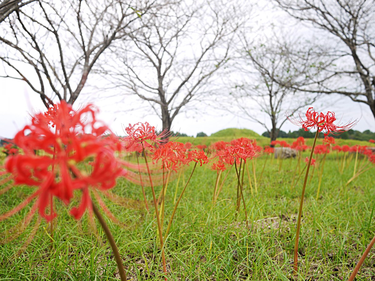 秋の彼岸の頃にいきなり開花する(R1撮影)