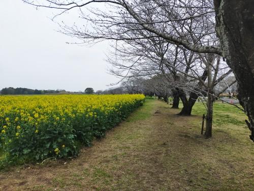 3/17の桜並木周辺