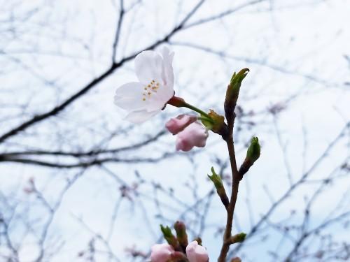 3/17開花確認